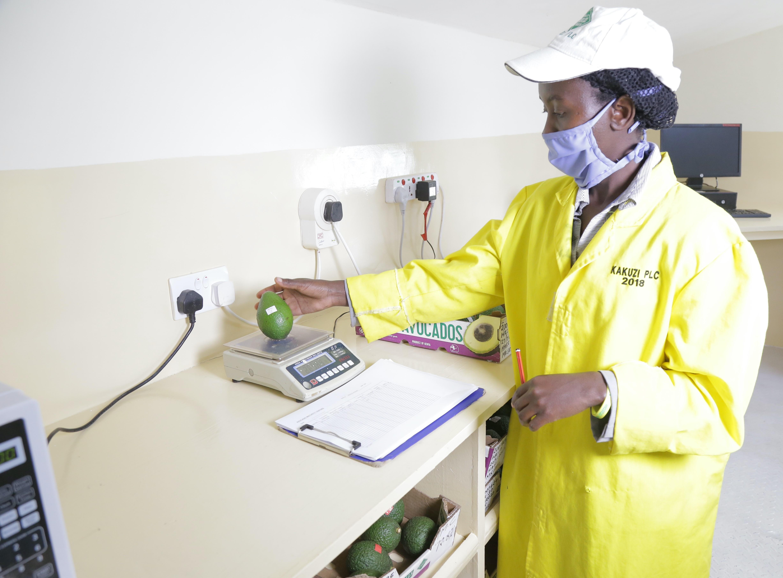 Avocado farmers to enjoy free fruit maturity testing services at Kakuzi